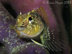 Mottled Triplefin (Grahamina capito)&lt;&gt;&lt;&gt;&lt;&gt;&lt;&gt;Canon G9, Ino... by Brian Mayes 